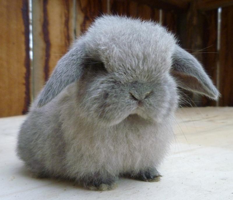 Animali buffi e divertenti il coniglio ariete nano for Piani domestici carini